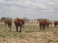 Running Cattle