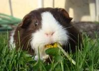 Guinea Pig Eating a Dandelion
