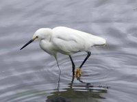 Great Egret (Egretta ALba) (Ga