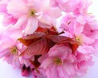 pink cherry blossom 2