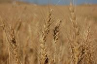 Wheat Fields II