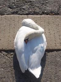 Swan como