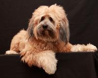 Tibetan Terrier Dog 2