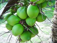 Green Coconut 2
