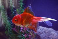 Goldfish Oranda 3