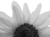 bw sunflower