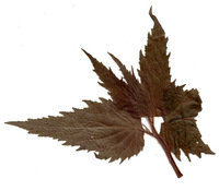 herbarium 6
