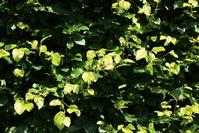 Shady hedge photos