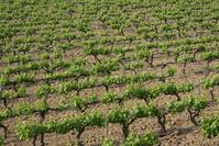 South of France vineyard