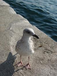 Bosphorus Seagull
