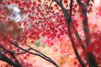 Japanese red maple leaf