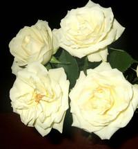 4 cream roses