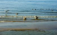 baltic seagulls 3
