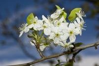 Blossums 1
