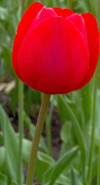 Ottawa Tulip Festival 25