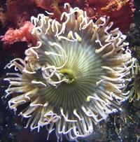 Sea Anemone 07