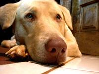dingo...the labrador
