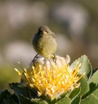 Natural fynbos