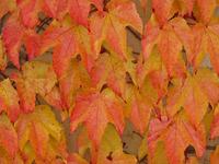 autumn ivy twines