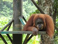orang utan...at the zoo