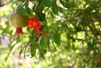 Pomegranate Pics 2