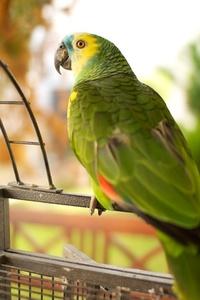 Amazonas Parrot 1