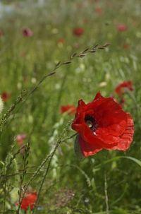 A red poppy flower in a field of grass