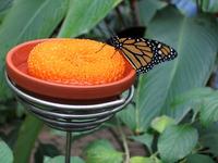 Monarch Feeding
