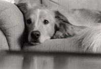 Couch Puppy