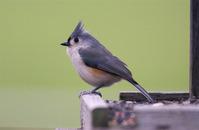 Song Birds 5