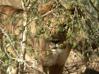 lioness in the bush