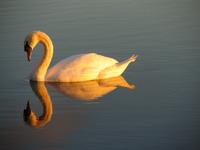 Swan - I