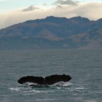 Sperm whale dives 8