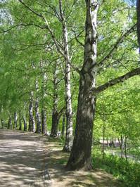 Line of birches
