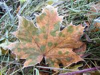 Frosty Fall Leaf