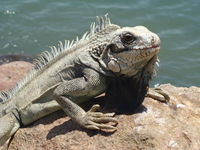 higuana