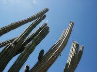Aruban cactus