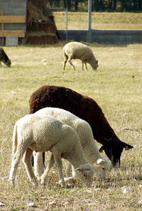 ewes 1