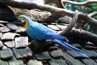 Tricolor Parrot 4