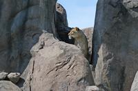 Lion_guarding