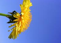 dandelions new 3