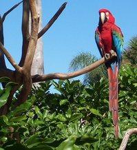Floridian Macaw