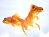 Gold Fish close-ups
