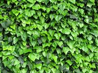 ivy, climbing plant... 1