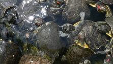turtles swiming