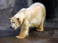 Oso Polar 2