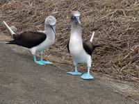 piqueros - blue footed