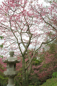 Lantern and Cherry Tree