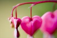 Heartflowers