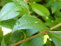 Watered Leaf